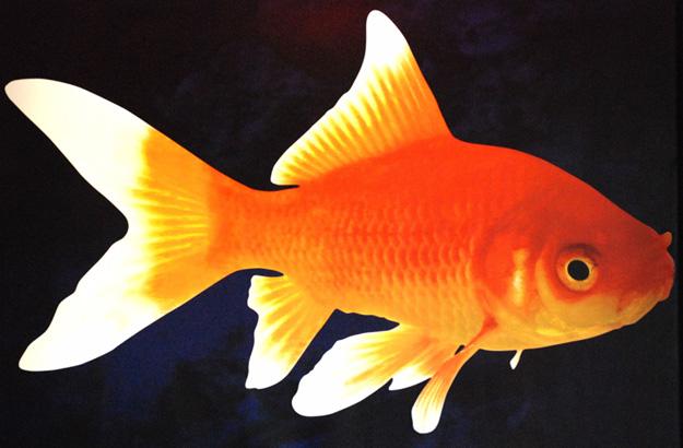 L 39 histoire du poisson d 39 avril fais pas ta steph for Achat d un poisson rouge